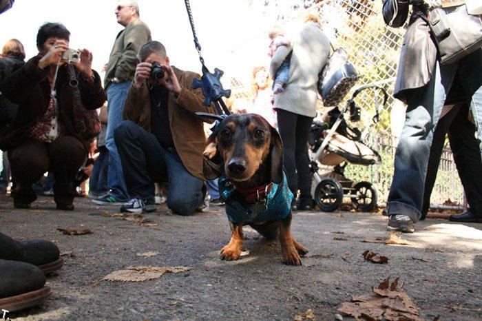Парад собак на Хэллоуин (43 фото)