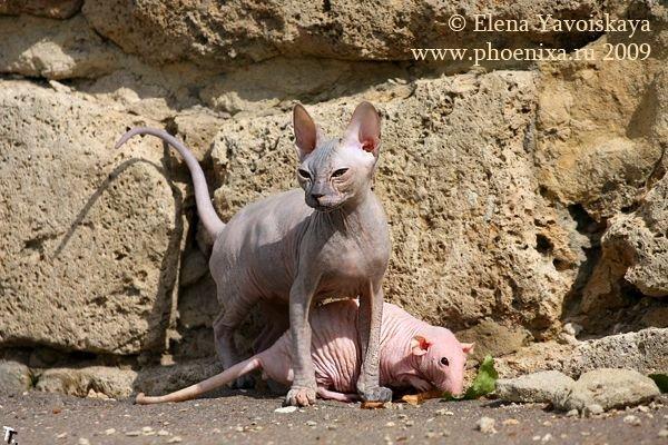Лысый кот повстречал лысую крысу (7 фото)