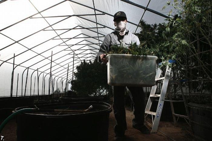 Урожай марихуаны (23 фото)
