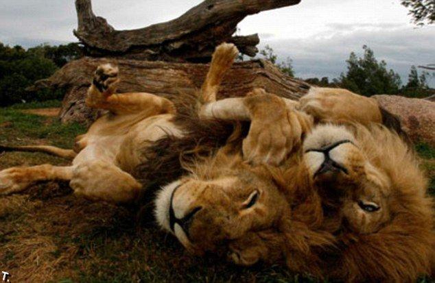 Лев на капоте, но никто не боится (6 фото)