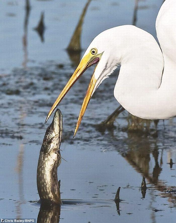 Глупая рыба выпрыгнула прямо в рот птицы (3 фото)