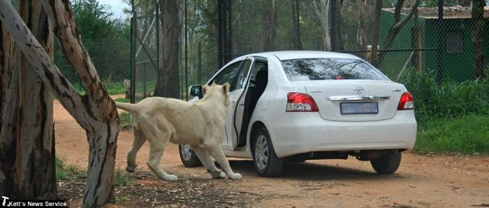 Лев открыл дверь автомобиля во время сафари (5 фото)
