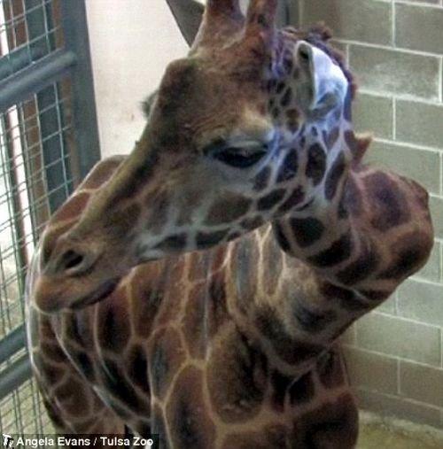 http://de.trinixy.ru/pics4/20091127/giraffe_with_a_crick_in_her_neck_01.jpg