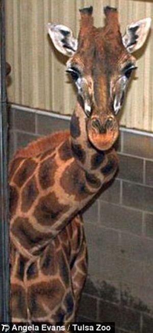 Жираф с поврежденной шеей (4 фото + видео)