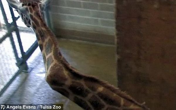 http://de.trinixy.ru/pics4/20091127/giraffe_with_a_crick_in_her_neck_04.jpg