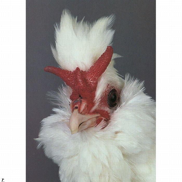 Самые необычные курицы в мире (18 фото)