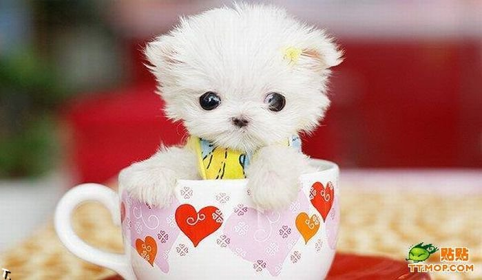 Крошечные собачки в чашках (8 фото)