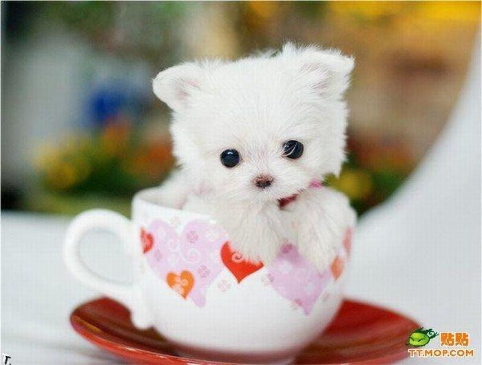 Крошечные собачки в чашках 8 фото