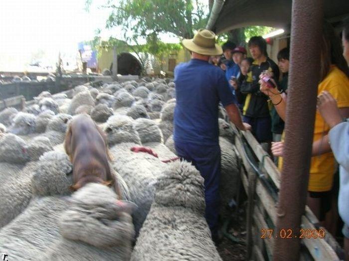 Собака бегает по овцам (4 фото)