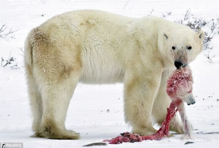 Белый медведь съел медвежонка (4 фото)