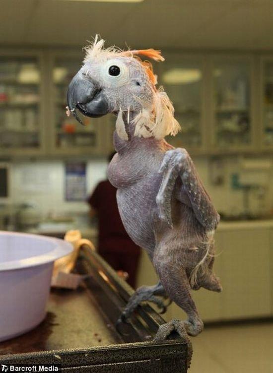 Лысый попугай (5 фото)