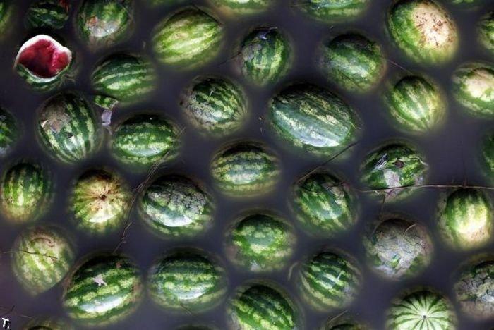 Плавающие арбузы (12 фото)
