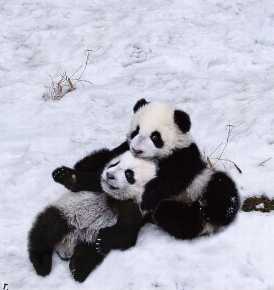 Семья панд радуется первому снегу (9 фото)