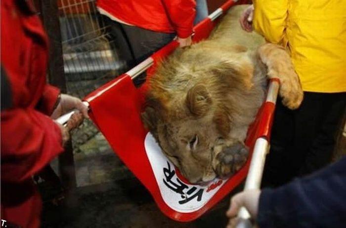 Как прощаются львы (6 фото)