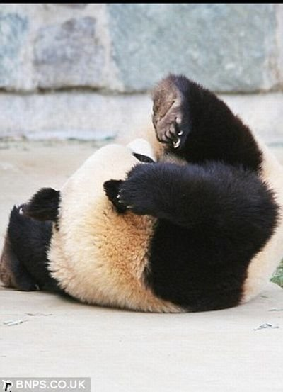 Панда кувыркнулась во сне (8 фото)