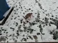 Собака, которая ходит на двух лапах (1.7 мб)
