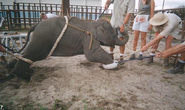 Как обучают слонят (24 фото)