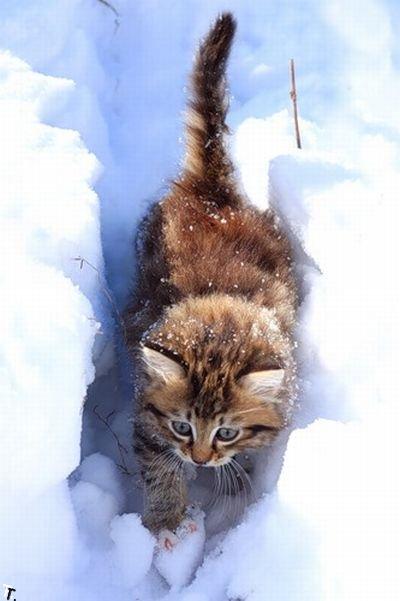 Снежные коты (21 фото)