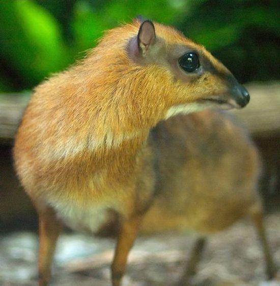 Олень, который очень похож на мышь (23 фото)