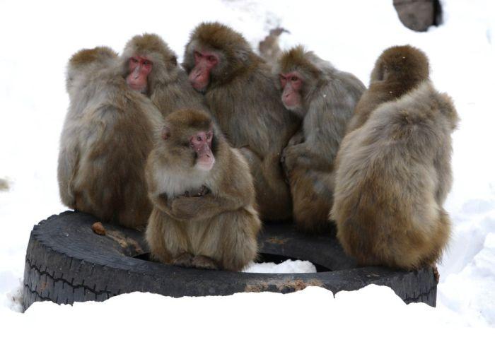 Обезьянки замерзли( (3 фото)