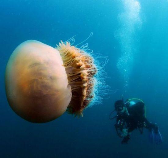Огромные медузы (6 фото)