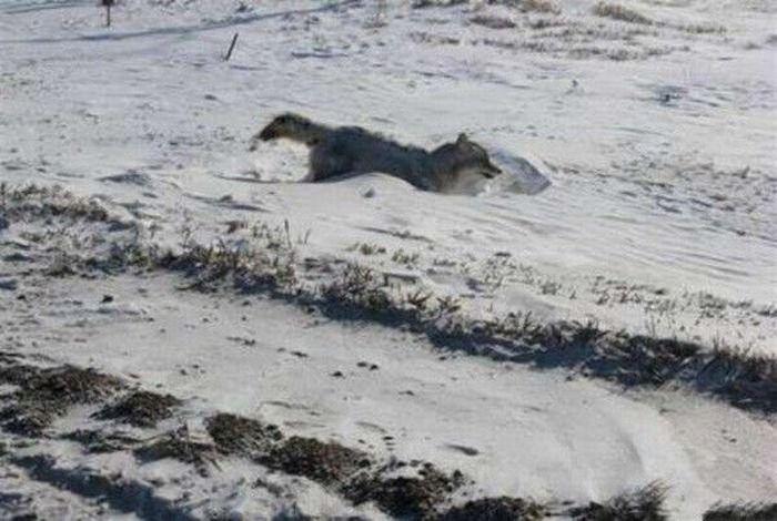 Замерзший кайот (4 фото)