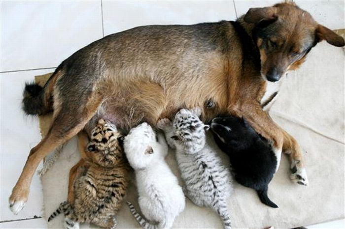 http://ru.trinixy.ru/pics4/20100128/unlikely_animal_friendships_36.jpg