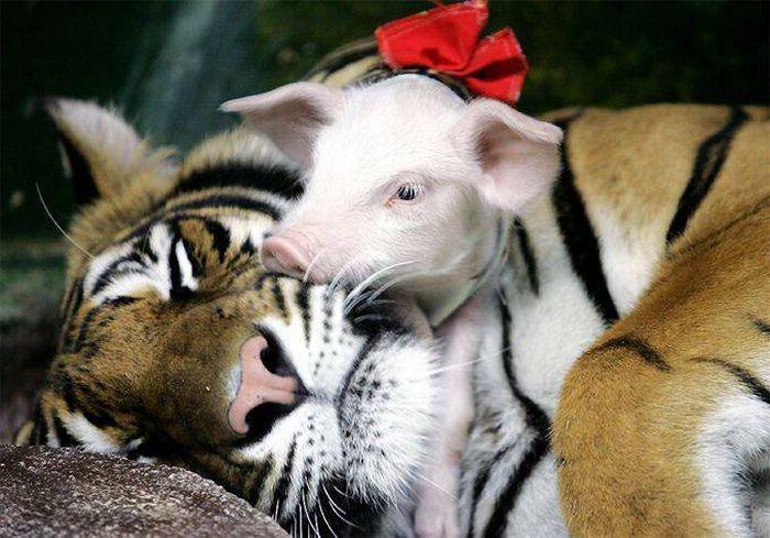 http://ru.trinixy.ru/pics4/20100128/unlikely_animal_friendships_38.jpg