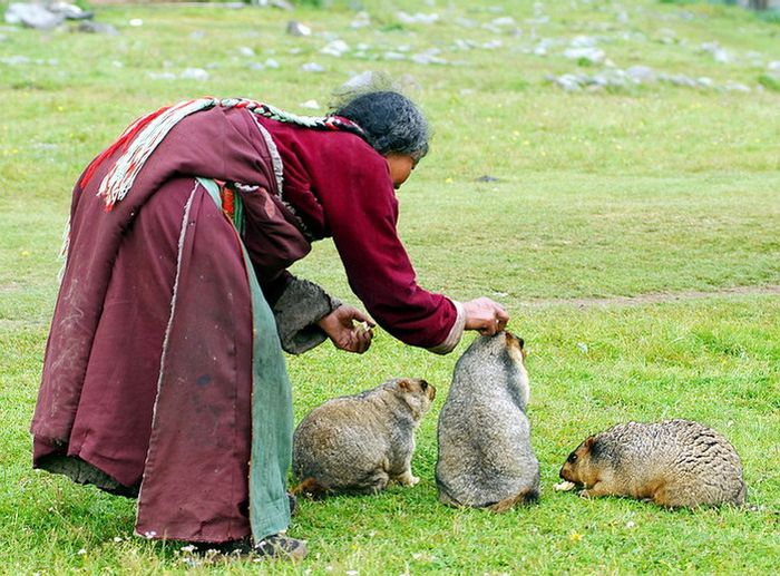 Тибетские сурки (7 фото)