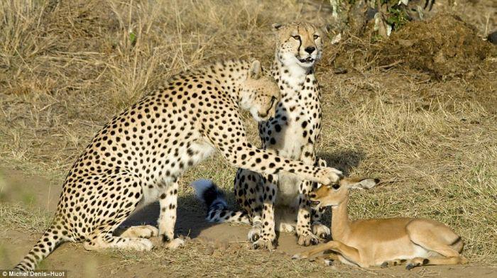 http://ru.trinixy.ru/pics4/20100201/cheetahs_letting_tiny_antelope_go_01.jpg
