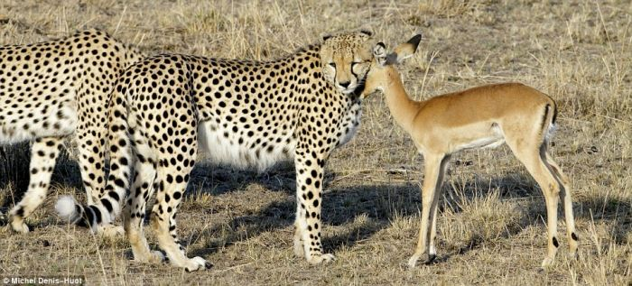 http://ru.trinixy.ru/pics4/20100201/cheetahs_letting_tiny_antelope_go_02.jpg