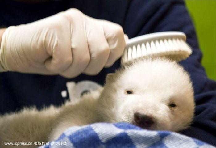 Маленький белый медвежонок (8 фото)