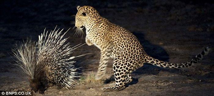 Маленький леопард на охоте (7 фото)