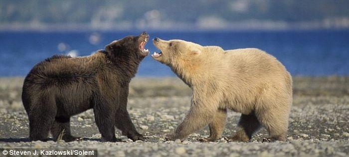 Бой медведей Гризли (7 фото)