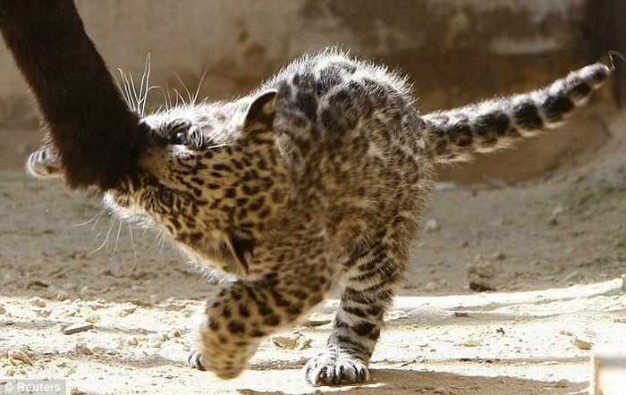 Маленький ягуар (7 фото)