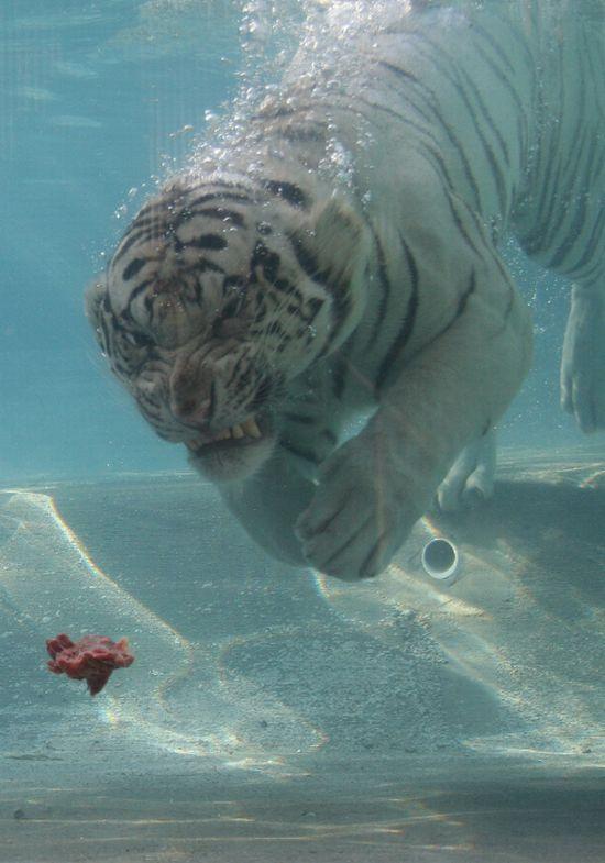 Белый бенгальский тигр (26 фото)