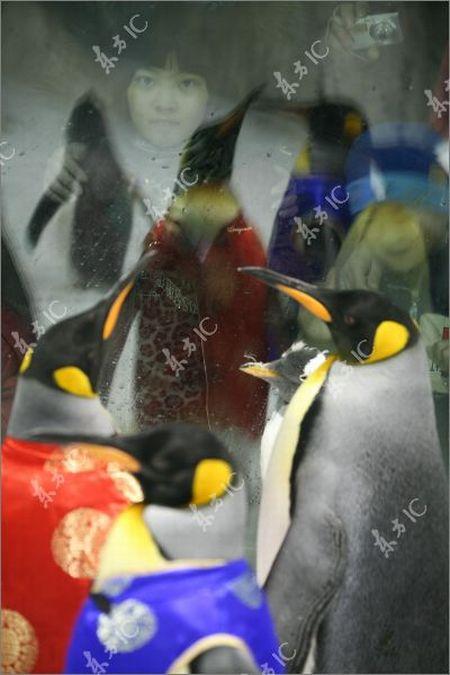 Пингвины празднуют китайский Новый год (8 фото)
