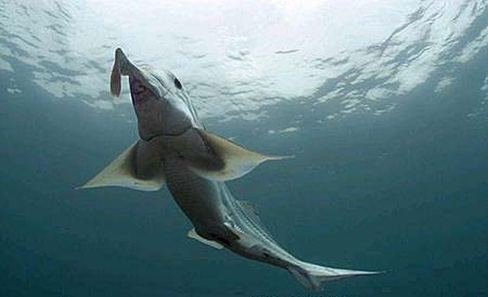 Самые странные акулы в мире (19 фото)