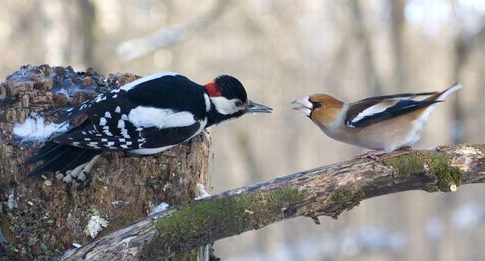 Поцелуй дятла и дубоноса (5 фото)