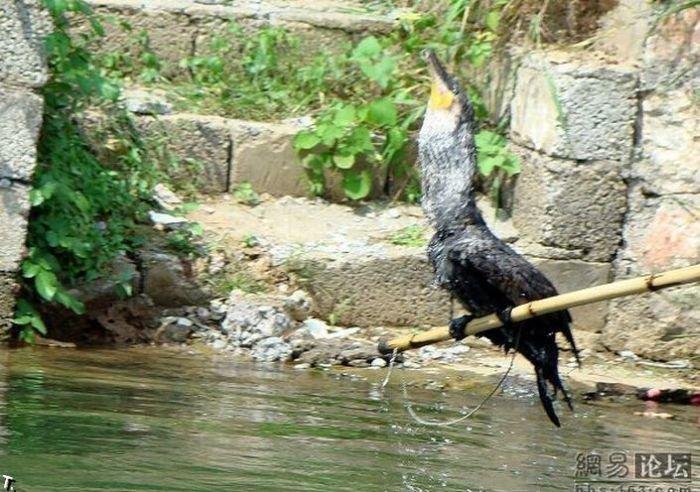 Рыбалка с помощью птиц (10 фото)