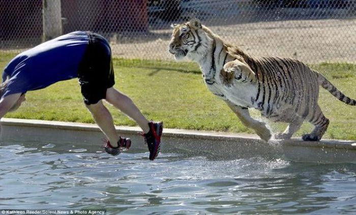 Купание с тиграми (6 фото)
