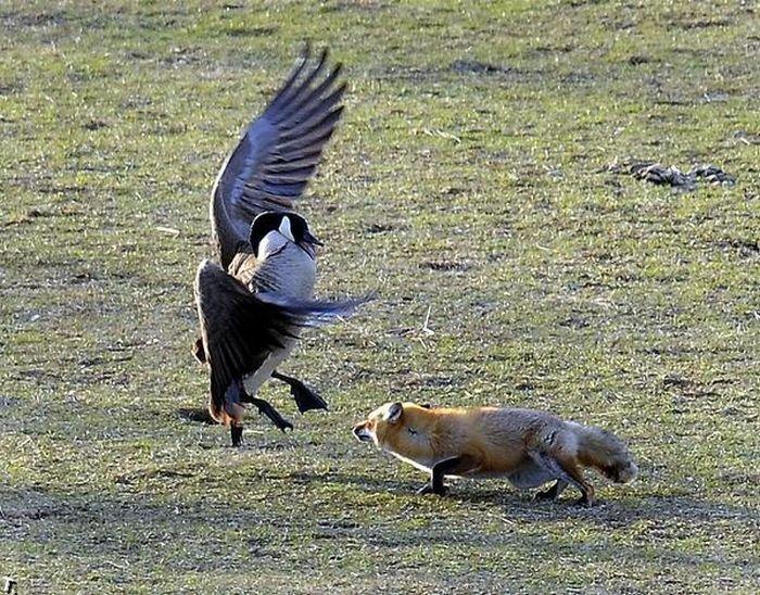 Гуси против лисы (5 фото)