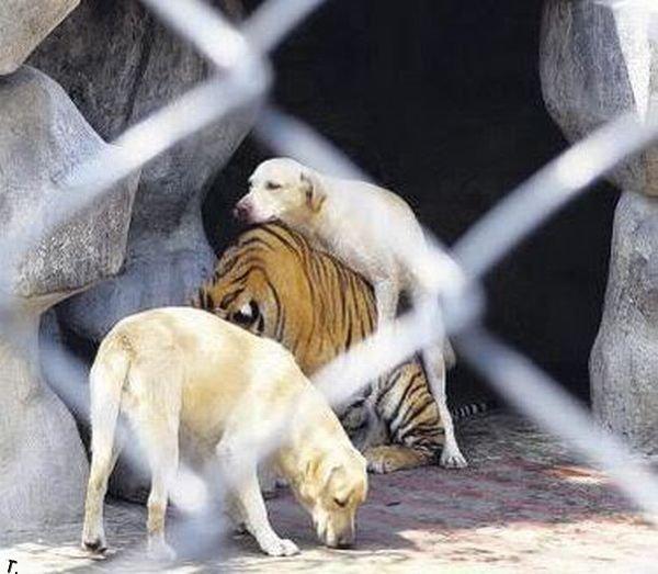 Самые ленивые хищники в мире (18 фото)