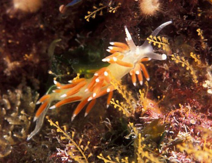 Красивые морские слизняки (31 фото)