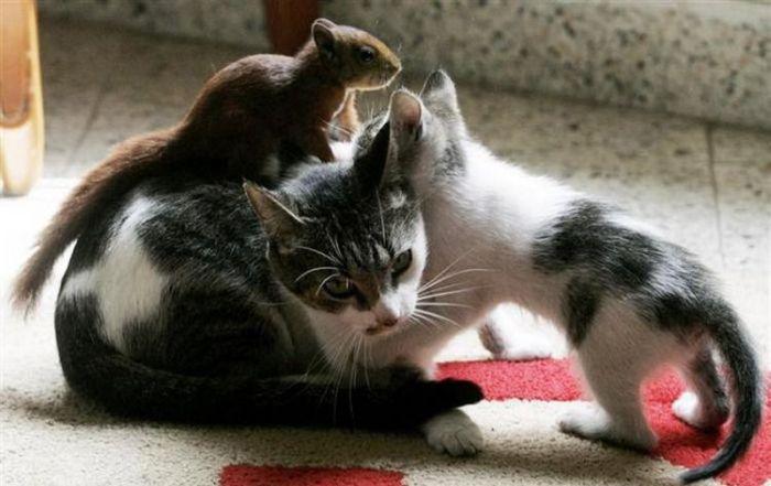 http://ru.trinixy.ru/pics4/20100316/cat_adopted_small_squirell_03.jpg