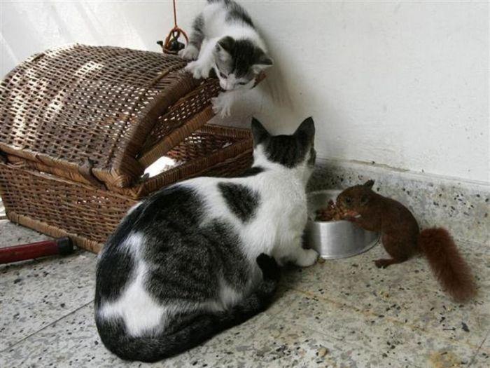 http://ru.trinixy.ru/pics4/20100316/cat_adopted_small_squirell_07.jpg