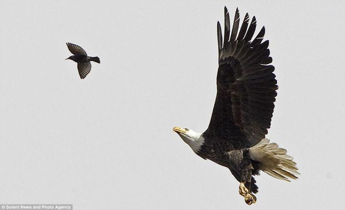 Удивительный момент. Орел ловит скворца (4 фото)