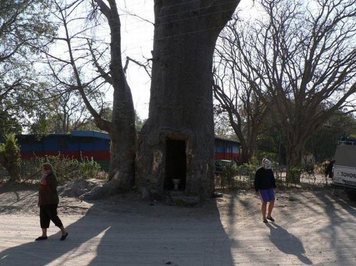 Полезное дерево (4 фото)