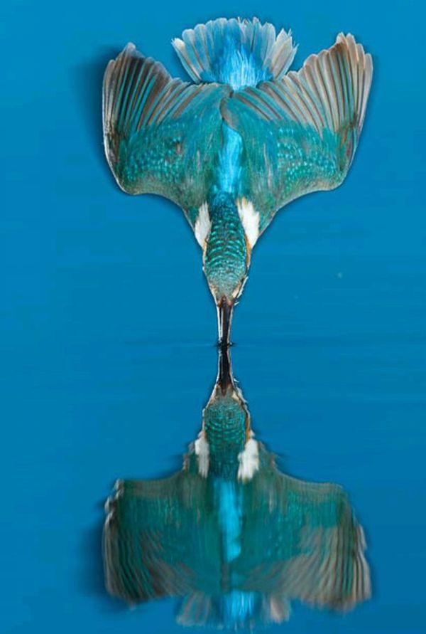 http://de.trinixy.ru/pics4/20100323/hunting_kingfisher_03.jpg
