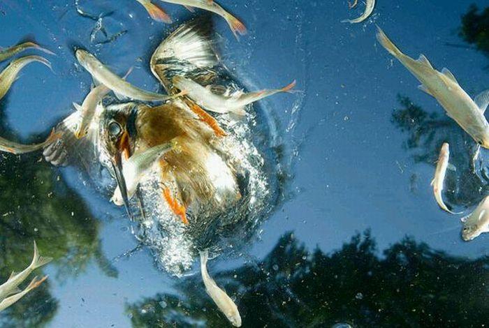 http://de.trinixy.ru/pics4/20100323/hunting_kingfisher_05.jpg